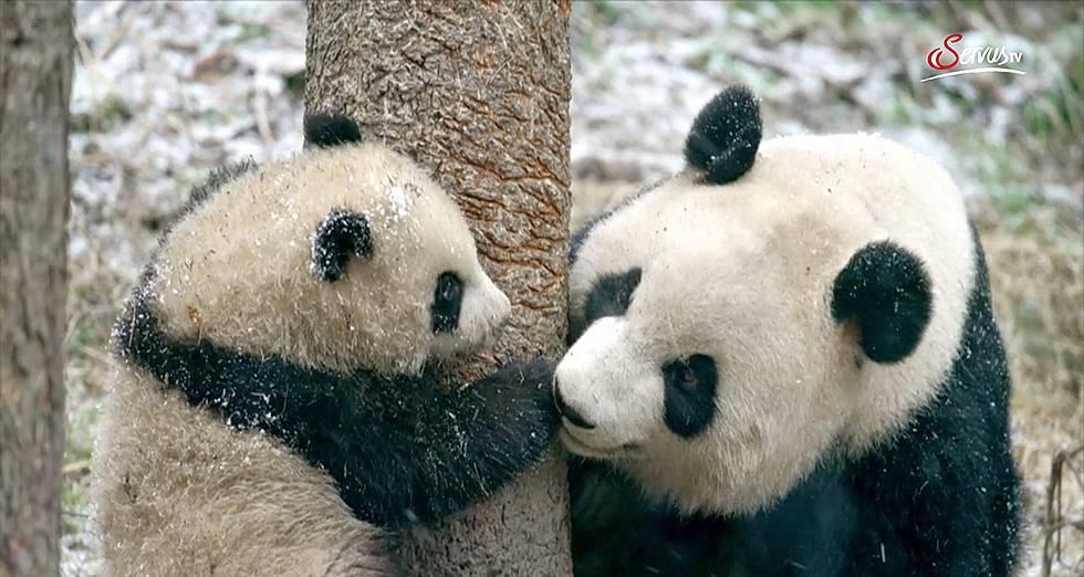 Pandas Hautnah