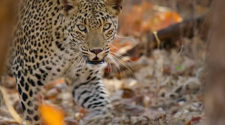 Wild Cats of India